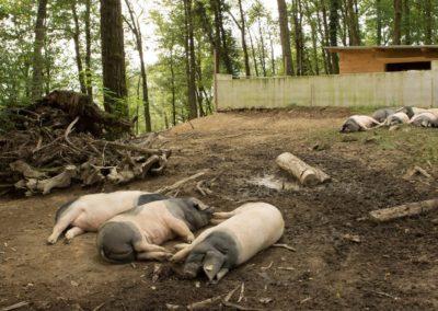 cochons_sieste