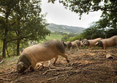 paysage_cochon